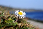 Daisy (Bellis perennis)